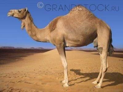 Подушка с наполнителем из верблюжьей шерсти: отзывы, плюсы и минусы