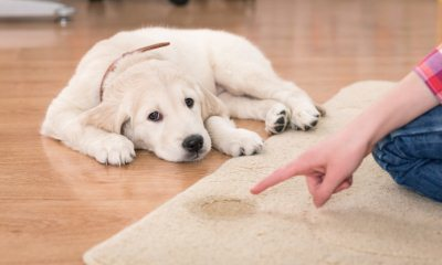 Чем вывести запах собачьей мочи с ковра: избавиться навсегда в домашних условиях